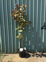 Cercis-canadensis-Forest-Pansy-40cm