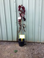 Cercis-canadensis-Forest-pansy-20cm-768x1024