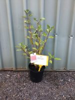 Cornus-sericea-Red-Stem-Dogwood-20cm-768x1024