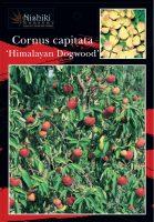 Cornus-capitata-Himalayan-Dogwood-1