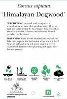 Cornus-capitata-Himalayan-Dogwood-2