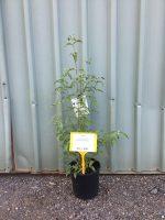 Cornus-capitata-Himalayan-Dogwood-20cm