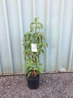 Cornus-florida-White-Flowering-Dogwood-20cm