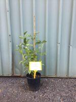 Cornus-Yellow-Stem-Dogwood-20cm-768x1024
