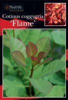 Cotinus-coggygria-Flame-1