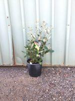Feijoa-sellowiana-Pineapple-Guava-20cm