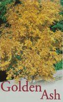 Fraxinus-excelsior-aurea-Golden-Ash-1