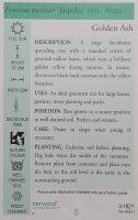 Fraxinus-excelsior-aurea-Golden-Ash-2