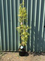 Fraxinus-excelsior-aurea-Golden-Ash-30-33cm