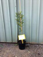 Fraxinus-griffithii-Evergreen-Ash-25cm-768x1024