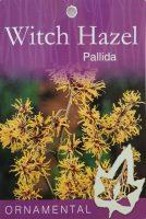 Hamamelis-intermedia-pallida-Yellow-Witch-Hazel-1