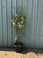 Ilex-aquafolia-Golden-King-Holly-30-33cm