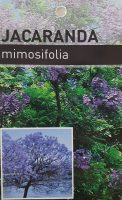 Jacaranda-mimosifolia-1