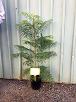 Jacaranda-mimosifolia-20cm-768x1024