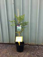 Koelreuteria-paniculata-Golden-rain-Tree-20cm-768x1024