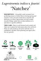 Lagerstroemia-Natchez-Tree-Form-2