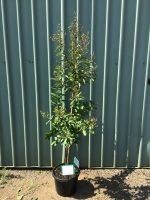 Lagerstroemia-Natchez-Tree-Form-30-33cm