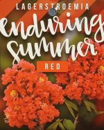 Lagerstroemia-Enduring-Red-1