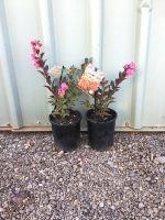 Lagerstroemia-Enduring-Red-14cm