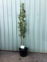 Liriodendron-tulipifera-fastigiata-Upright-Tulip-tree-30-33cm-768x1024
