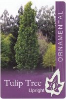 Upright-Tulip-Tree-1-698x1024