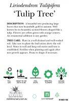 Liriodendron-tulipifera-Tulip-Tree-2