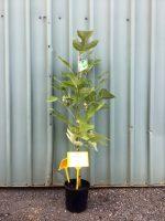 Liriodendron-tulipifera-Tulip-Tree-20cm-768x1024