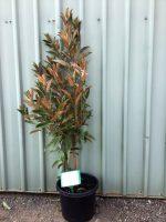 Magnolia-grandiflora-Alta-30-33cm-768x1024