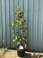Magnolia-Kay-Parris-30-33cm-768x1024