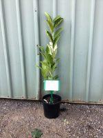 Magnolia-soulangeana-20cm-768x1024