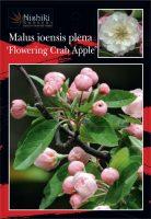 malus-ioensis-plena-flowering-crab-apple-1