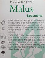 Malus-spectabilis-Crab-Apple-2