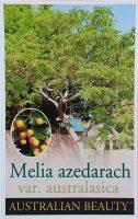 Melia-azedarach-White-Cedar-1