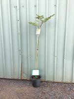 Melia-azedarach-White-Cedar-20cm-768x1024-1