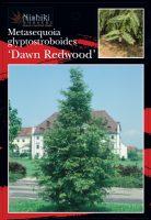 Metasequoia-glyptostroboides-Dawn-Redwood-1