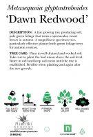 Metasequoia-glyptostroboides-Dawn-Redwood-2