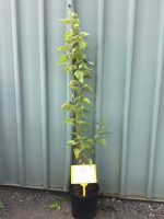 Morus-nigra-Black-Mulberry-20cm-768x1024