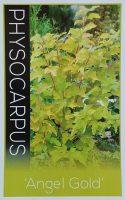 Physocarpus-opulifolius-Angel-Gold-1