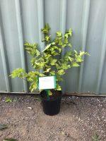 Physocarpus-opulifolius-Angel-Gold-20cm-768x1024