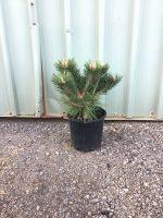 Pinus-densiflora-Low-Glow-20cm