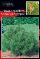 Pinus-densiflora-Osmaston-Compact-1