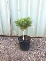 Pinus-densiflora-Osmaston-Compact-20cm
