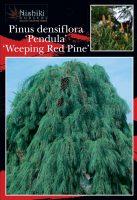 Pinus-densiflora-Weeping-Red-Pine-1