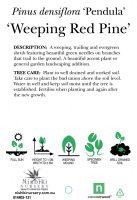 Pinus-densiflora-Weeping-Red-Pine-2