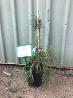 Pinus-densiflora-Weeping-Red-Pine-20cm