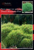 Pinus-mugo-Dwarf-Mountain-Pine-1