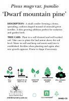 Pinus-mugo-Dwarf-Mountain-Pine-2