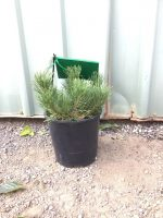 Pinus-mugo-Dwarf-Mountain-Pine-20cm