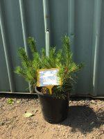Pinus-mugo-Dwarf-Mountain-Pine-25cm-768x1024