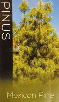 Pinus-patula-Mexican-Pine-1